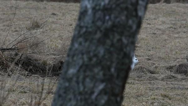 Skadad skoghare med vit päls på våren - Injured mountain hare