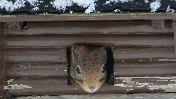 Ekkor på vintern - Red squirrel at a bird feeder in a garden