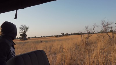 Wild Dog chasing Sable. Bushman Plains- Botswana