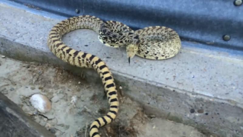 Bin Yard Bull Snake