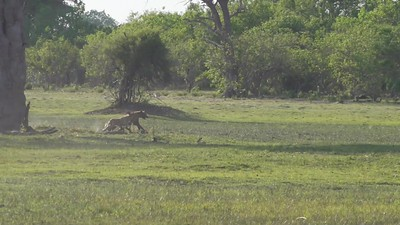Wild Dog harassing Hyena. Bushman Plains - Botswana