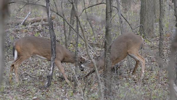 Buck's fighting Nov.2015
