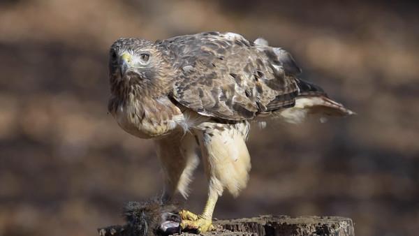 RedTail Hawk Nov.2015