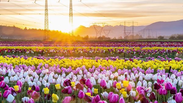 Sunruse Time Lapse - Abbotsford Tulip Fest 2019