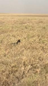 Melenistic Black Seval hunting. Eastern Serengeti - TZ