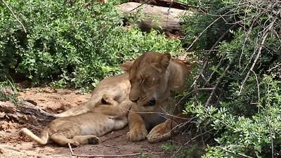 Lioness Feeding Cub