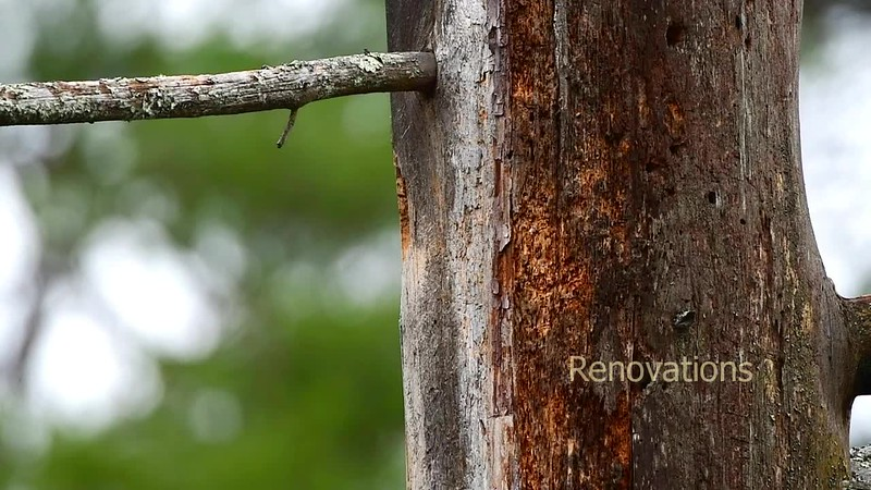 Renovations - Pileated Woodpecker pair