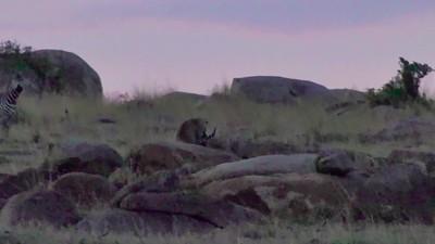 Leopard hunting Hyrax @ night. Kogatende, Nth Serengeti- TZ