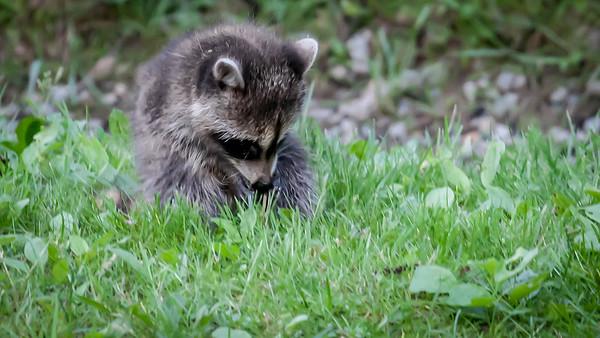 Raccoon Puppies