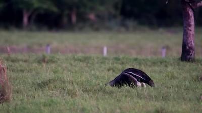 Giant Anteater feeding. Pantanal- Brazil