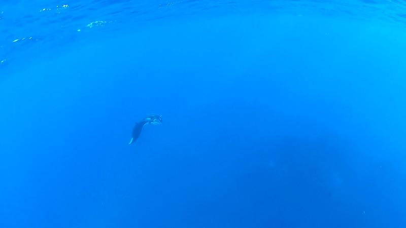 Manta and Dolphins at The Canyon, San Benedicto Island