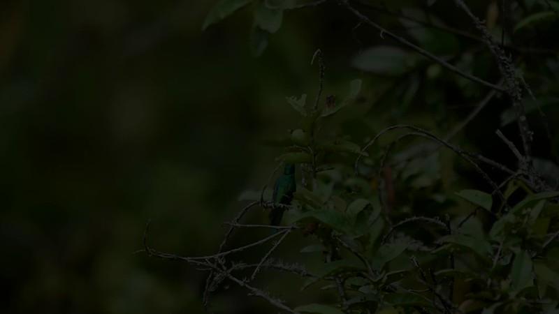 Hummingbird SloMo