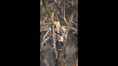 Some bush babies that I saw near Bela Bela in the wild - having a feast on banana's