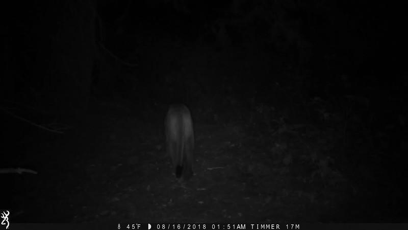 Cougar Marking