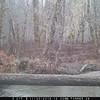 Wolf chasing elk