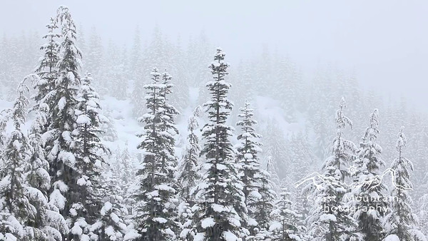 Douglas Fir trees covered in snow during a winter storm. Stock video footage by Mitch Winton - coastphoto.com