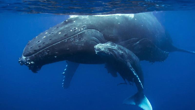 Humpback Whales Of Vava'u, Tonga