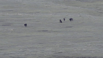 Mollie's Wolf Pack in the Lamar Valley