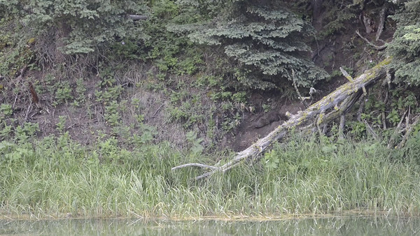 Yellowstone Juvenile River Otters Part 1