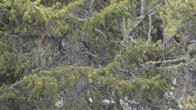 Great Grey Owl Not Cooperating