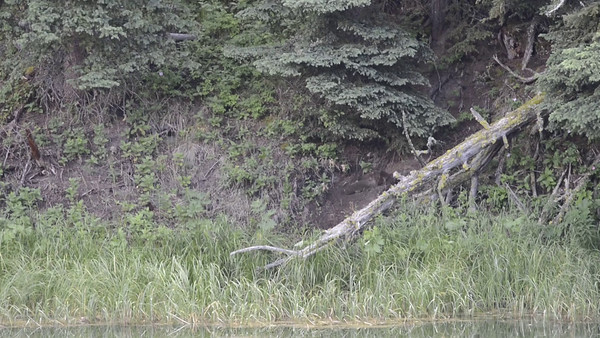 Yellowstone Juvenile River Otters Part 2