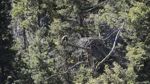 Osprey Eagle Roosting. Yellowstone National Park