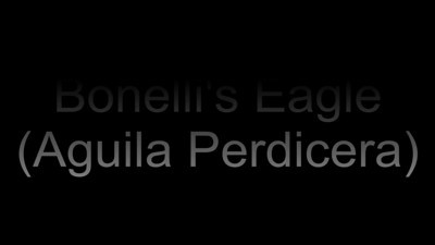 Bonelli's Eagle..... eating its prey. Video filmed in Extremadura (Spain)