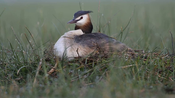 Great Crested Grebe - nesting