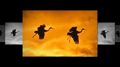 Crane Migration - 2019