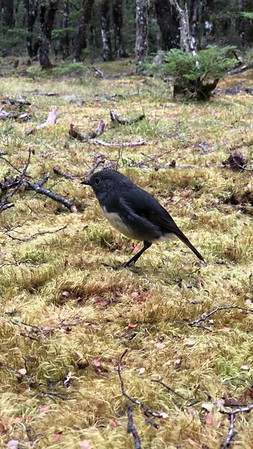 South Island Robin, Lewis Pass NZ