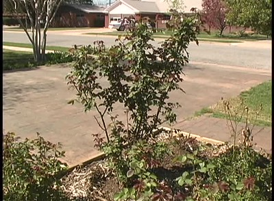 Spring Pruning of Roses in Lubbock