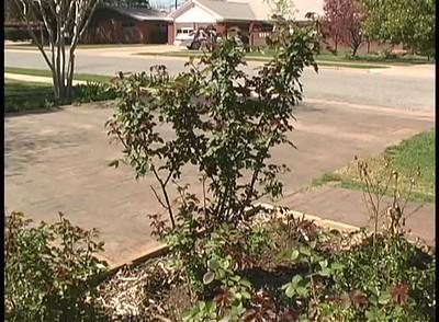 Spring Pruning of Roses in Lubbock