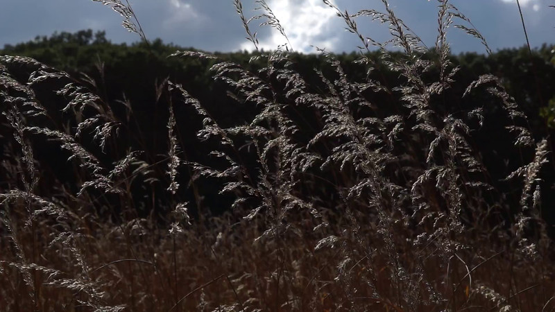 Prairie grass in the wind