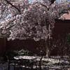 Falling petals - magnolia in the League courtyard