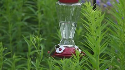 Hummingbirds Correction_mp4
