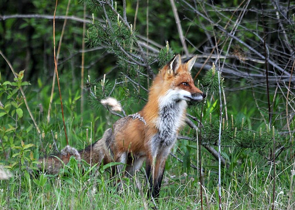 """<div class=""""jaDesc""""> <h4> Male Red Fox Looking Around - May 11, 2010 - Video Attached </h4> <p> The adult male Red Fox paused to look around our front yard before heading out on his hunt for food for his mate and 4 kits.</p> </div> <center> <a href=""""http://www.youtube.com/watch?v=9VJ6C1UA7ss""""  style=""""color: #0000FF"""" class=""""lightbox""""><strong> Play Video</strong></a>"""