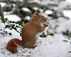 "<div class=""jaDesc""> <h4>Red Squirrel in Snow - January 9, 2011 - Video Attached </h4> <p>  Our Red Squirrel visited yesterday when the sun was just right to really show off his reddish coloring.</p> </div> <center> <a href=""http://www.youtube.com/watch?v=rUXKyLYOKHM""  style=""color: #0000FF"" class=""lightbox""><strong> Play Video</strong></a>"