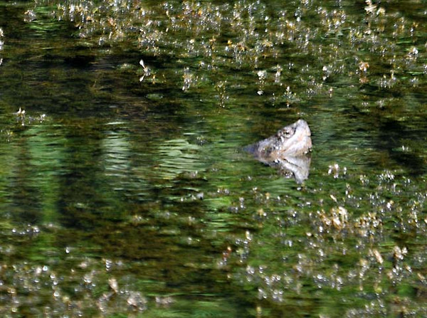 """<div class=""""jaDesc""""> <h4>Snapping Turtle Swimming - August 20, 2010 - Video Attached </h4> <p> Occasionally I stop by a secluded pond and set up my blind to see what shows up. This particular day, a Snapping Turtle swam past me with only his head ever coming above the surface of the water.</p> </div> <center> <a href=""""http://www.youtube.com/watch?v=4bj1Fov7I2M""""  style=""""color: #0000FF"""" class=""""lightbox""""><strong> Play Video</strong></a>"""