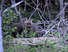 """<div class=""""jaDesc""""> <h4> Red Fox Kits Playing - April 24, 2010 - Video Attached </h4> <p>My neighbor called this evening to tell me they had 4 Red Fox kits playing in their backyard woods.  It was dusk, so I was barely able to get a photo and video.  They are mostly brown right now, but each has a noticeable white tip on its tail - a Red Fox characteristic.  When the mother Red Fox noticed my presence, she let out a shrill bark and the kits raced into their den.</p> </div> <center> <a href=""""http://www.youtube.com/watch?v=ZwxAIL0HhTE""""  style=""""color: #0000FF"""" class=""""lightbox""""><strong> Play Video</strong></a>"""
