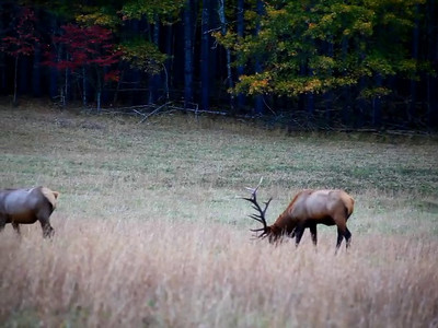 Elk in Cataloochee Valley