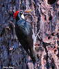"""<div class=""""jaDesc""""> <h4> Acorn Woodpecker Collecting Acorns - November 3, 2009 - Video Attached</h4> <p> This is the busiest time of year for Acorn Woodpeckers as they work all day gathering acorns.  Each acorn gets stuffed into one of thousands of holes the Woodpeckers have drilled into large pine tree trunks.  They do not store the acorns to eat them.  The acorns are bait to attract bugs which the Woodpeckers then eat.</p> </div> </br> <center> <a href=""""http://www.youtube.com/watch?v=NWCbnyTgd8w"""" class=""""lightbox""""><img src=""""http://d577165.u292.s-gohost.net/images/stories/video_thumb.jpg"""" alt=""""""""/></a> </center>"""