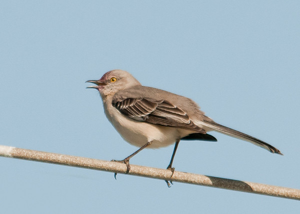 """<div class=""""jaDesc""""> <h4> Mockingbird Singing Away - April 14, 2012 - Video Attached</h4> <p> The Mockingbird moved to a light post next to the parking lot and started a complex series of songs and calls.</p> </div> <center> <a href=""""http://www.youtube.com/watch?v=0BPdzsqP_0A"""" style=""""color: #0AC216"""" class=""""lightbox""""><strong> Play Video</strong></a> </center>"""