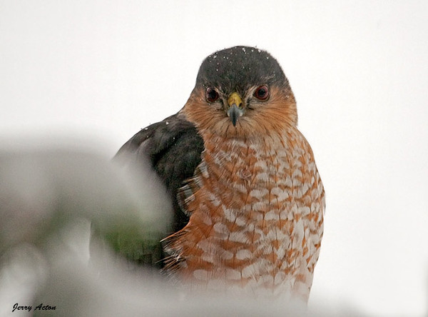 """<div class=""""jaDesc""""> <h4> Sharp-shinned Hawk Morning Visit - March 3, 2010 - Video Attached</h4> <p> While making my breakfast tea this morning, I looked up and noticed our Sharp-shinned Hawk looking right at me.  He was perched on the backside of our used Christmas tree looking for his own breakfast.  There was not another bird in sight.</p> </div> </br> <center> <a href=""""http://www.youtube.com/watch?v=bDjmC0I61Mg"""" class=""""lightbox""""><img src=""""http://d577165.u292.s-gohost.net/images/stories/video_thumb.jpg"""" alt=""""""""/></a> </center>"""