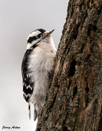 """<div class=""""jaDesc""""> <h4>Downy Woodpecker on Tree Trunk - January 12, 2010 </h4> <p> This is one of two female Downy Woodpeckers who are regulars.  Often both females are on the locust suet log together.  In the attached video she was grooming herself during a snow storm.</p> </div> </br> <center> <a href=""""http://www.youtube.com/watch?v=KKJjF9-1ZUg """" class=""""lightbox""""><img src=""""http://d577165.u292.s-gohost.net/images/stories/video_thumb.jpg"""" alt=""""""""/></a> </center>"""
