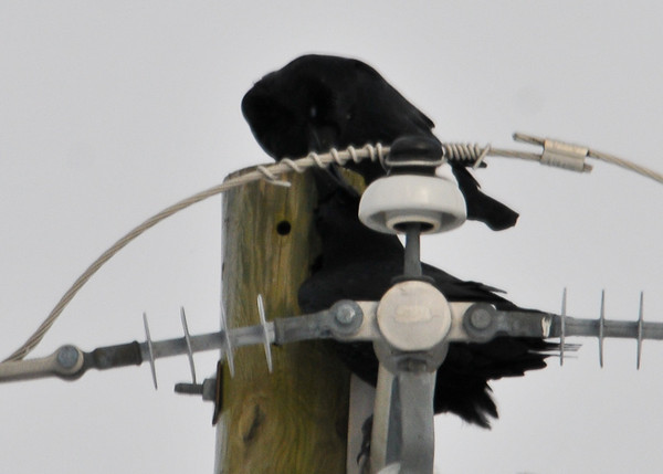 """<div class=""""jaDesc""""> <h4> Male & Female Ravens Touch Beaks - December 30, 2012 - Video Attached</h4> <p> My guess is that this beak touch was a courtship gesture.  I wish they had chosen a more photogenic location for this ritual. </p> </div> <center> <a href=""""http://www.youtube.com/watch?v=QybwmPZDZus"""" style=""""color: #0AC216"""" class=""""lightbox""""><strong> Play Video</strong></a> </center>"""