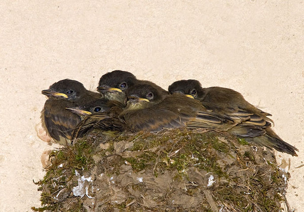 """<div class=""""jaDesc""""> <h4>Phoebe Nest Full of Chicks - July 11, 2009 - Video Attached</h4> <p>  The 5 phoebe chicks are starting to spill out of their nest. Their grooming behavior indicates they are getting very close to leaving the nest.</p> </div> </br> <center> <a href=""""http://www.youtube.com/watch?v=5Mhgh_5C2-I """" class=""""lightbox""""><img src=""""http://d577165.u292.s-gohost.net/images/stories/video_thumb.jpg"""" alt=""""""""/></a> </center>"""