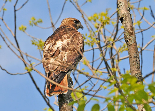 """<div class=""""jaDesc""""> <h4> Red-tailed Hawk Perched - May 14, 2010 - Video Attached</h4> <p> This female Red-tailed Hawk flew right over my head and landed in the top of an old tree.  Her first order of business was an overall body / feather shake.  Then she scanned the area looking at me several times before flying off.</p> </div> </br> <center> <a href=""""http://www.youtube.com/watch?v=YIaEiaHIZog """" class=""""lightbox""""><img src=""""http://d577165.u292.s-gohost.net/images/stories/video_thumb.jpg"""" alt=""""""""/></a> </center>"""