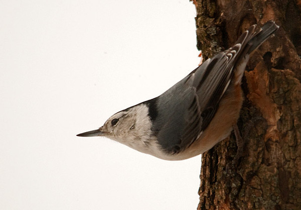"""<div class=""""jaDesc""""> <h4> White-breasted Nuthatch - January 29, 2010 - Video Attached</h4> <p> The White-breasted Nuthatch was visiting this afternoon in blowing snow.  It did not slow him down from his normal routine.  He scans the area for an opening to get a seed; then he takes it to a spot where he can jam it in a crack and peck away at it furiously.</p> </div> </br> <center> <a href=""""http://www.youtube.com/watch?v=yfVVT06yaPI"""" class=""""lightbox""""><img src=""""http://d577165.u292.s-gohost.net/images/stories/video_thumb.jpg"""" alt=""""""""/></a> </center>"""