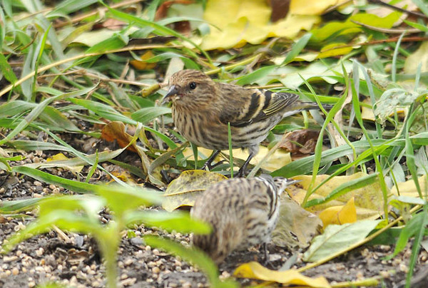 """<div class=""""jaDesc""""> <h4> Pine Siskins Are Back - October 26, 2010 - Video Attached </h4> <p> It has been 2 years since I have seen these guys. This afternoon 8 Pine Siskins arrived and were ground feeding and bathing in my backyard. I quickly got some extra thistle seed and spread it out for them, disturbing them temporarily. They perched not far away and immediately flew back to continue ground feeding. A few of them were eating black-oiled sunflower seeds. I'm going to pamper them in hopes that they stay and spread the word that feeding is good at the Acton's. 25 of them stayed here for 3 months two years ago.</p> </div> </br> <center> <a href=""""http://www.youtube.com/watch?v=sfvPpXdEB44"""" class=""""lightbox""""><img src=""""http://d577165.u292.s-gohost.net/images/stories/video_thumb.jpg"""" alt=""""""""/></a> </center>"""