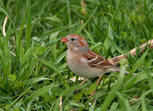 """<div class=""""jaDesc""""> <h4> Field Sparrow Ground Feeding - Video Attached - April 15, 2010</h4> <p> The grass is getting tall, but this little Field Sparrow hops around in it with ease. He is looking for the millet seed that I toss out on the ground.</p> </div> </br> <center> <a href=""""http://www.youtube.com/watch?v=FZ_-sR_5HTc"""" class=""""lightbox""""><img src=""""http://d577165.u292.s-gohost.net/images/stories/video_thumb.jpg"""" alt=""""""""/></a> </center>"""